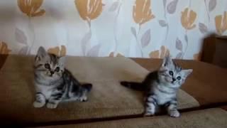 Продаются британские мраморные котята