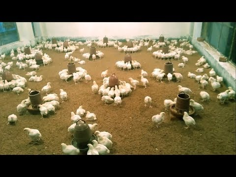 Easy Broiler Chicken Farming Process - General Way Poultry Farming Business