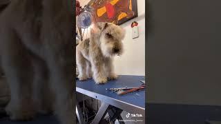 Jenny's Grooming Lakeland Terrier