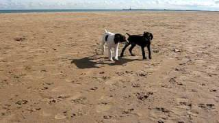 German Shorthaired Pointer Puppies Playing At The Beach 9 Weeks