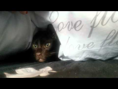 Havana Brown Cat Gauderic