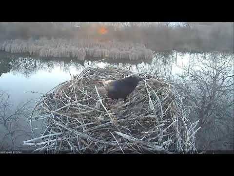 2018 03 13 Ravens and sticks, AGAIN!  - Boulder County Osprey Cam
