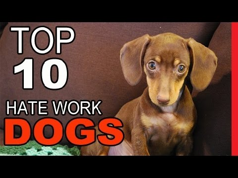 Top 10 Dog Breeds That Absolutely HATE Work - Video Dogs Breeds - Best Dog Breed Compilation