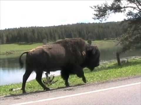 Yellowstone Animals 2 - Bison, Bears, & Wolves