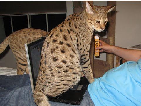 Саванна самая большая порода кошек в мире. Savannah cat.