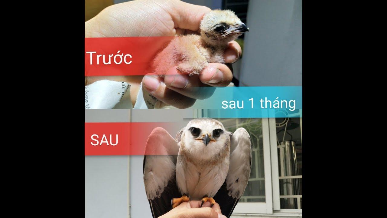 ✅ Diều trắng non một tháng tuổi✅ Tập nuôi chim săn mồi l chim săn mồi giá rẻ