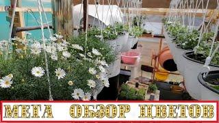 📢Пермский край - САМОВЫВОЗ - жду в гости! 👍Что растёт и цветёт, БОЛЬШОЙ ОБЗОР, продам в добрые руки!