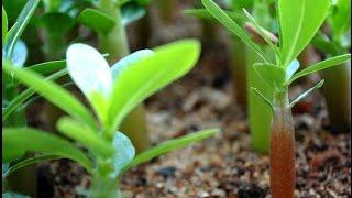 Китайские семена. Что выросло из китайских семян.