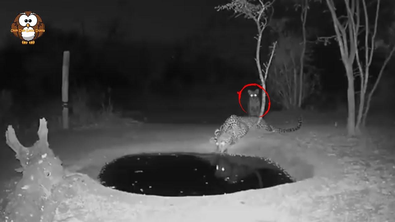 Asik Minum Air, Macan Tutul Terkejut Melihat Hewan ini.!!