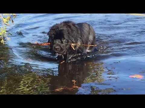 Newfoundland dog Phantom Blue,the Water dog swimming in the lake..