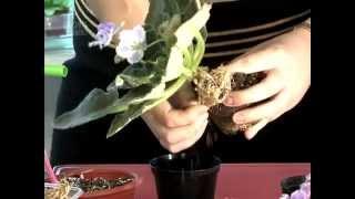 7_Пересадка. Уход за комнатными растениями. Часть 2(Мы хотим познакомить вас с тем, как правильно выращивать комнатные растения. Ответить на возникающие у..., 2014-05-17T12:57:35.000Z)
