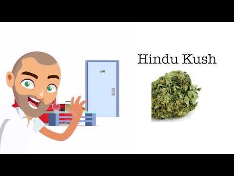 Hindu Kush Strain Review