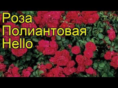 Роза полиантовая Хелло. Краткий обзор, описание характеристик, где купить саженцы