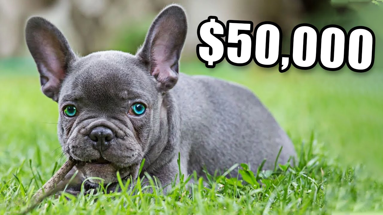 French Bulldogs Are So Expensive