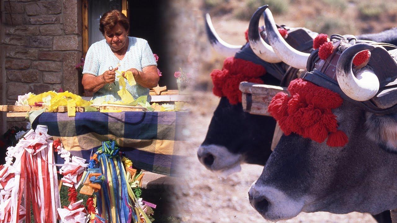 Bajada popular del ganado vacuno. Actos tradicionales de la fiesta de los campanos   Documental
