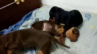Dachshund puppies. Щенки таксы.