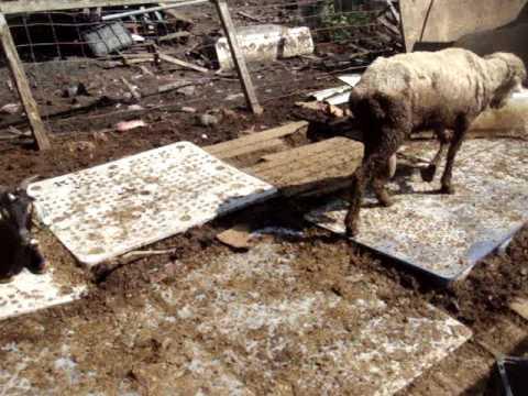 Rudy Acusta Illegal Slaughter Farm