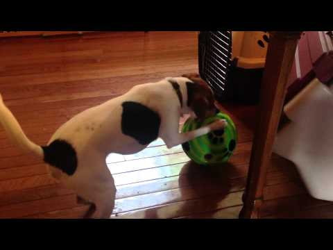 Puppy worriedly chases a Wiggle Giggle dog ball