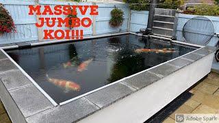JUMBO KOI! 4000 Gallon Pond, 7 KOI ONLY!!!