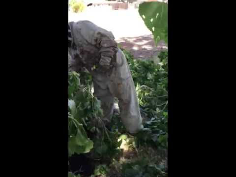 High winds break tree, reveal Killer bee swarm, Sierra Vista AZ