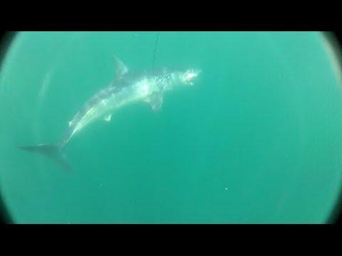 Great Shark Video Ocean City MD inshore/offshore
