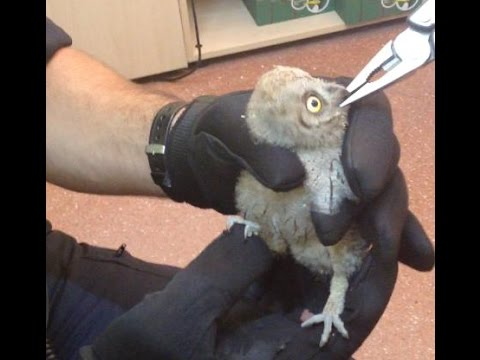 Alimentando A Un Búho Bebé Feeding An Owl Nourrir Un Hibou Bébé