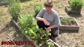 Мангольд или листовая свекла – полезные свойства