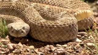 Rattlesnake Encounter
