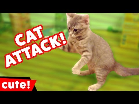 Funniest Cat Attack Video Compilation October 2016 | Kyoot Animals