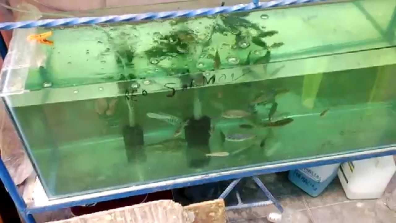 Venta de peces y accesorios en per youtube for Criadero de peces en casa