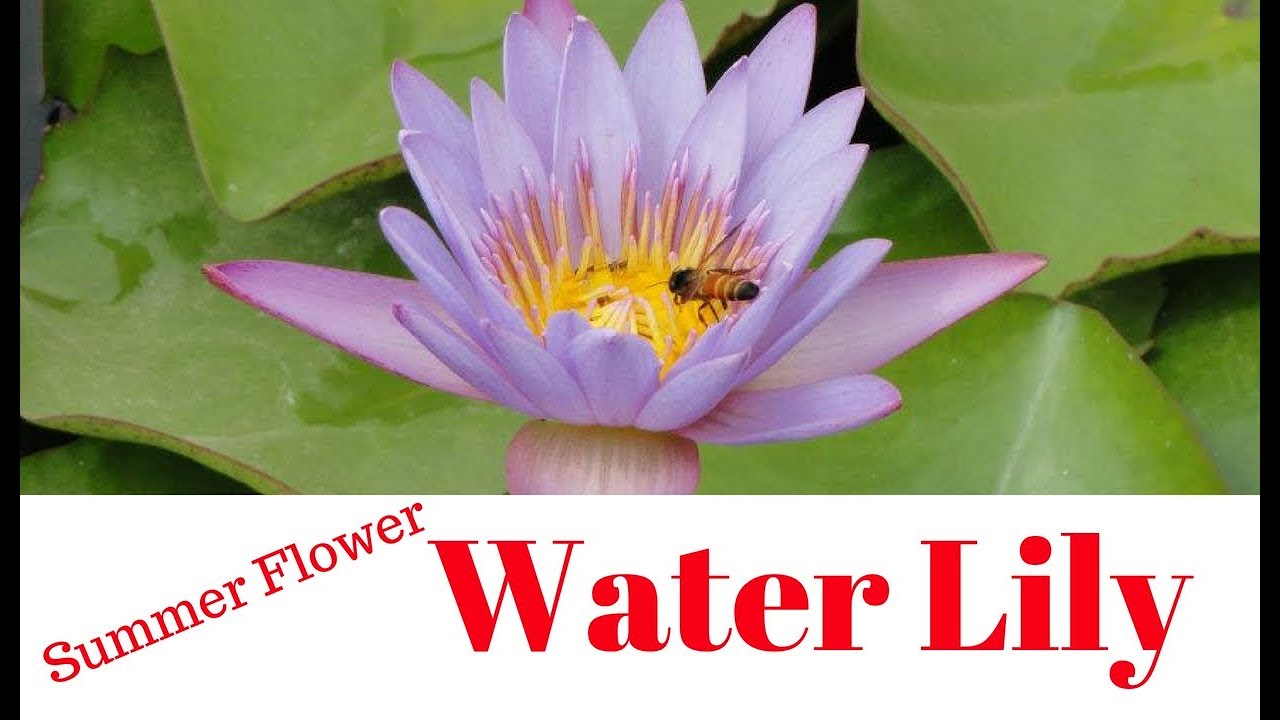 How To Grow Water Lily At Home Youtube