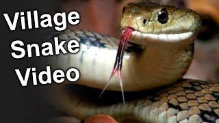 Village Snake Video || Lion Media