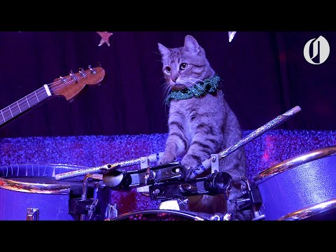 The Amazing Acro-cats perform tricks with an all-cat band