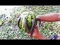 Unique Fish trap :- Boy hunting catFish do with Watermelon Fruit | তরমুজ দিয়ে শিং মাছ শিকার।