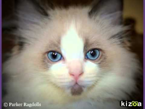 Parker Ragdolls 2015....ragdoll kittens for sale in devon