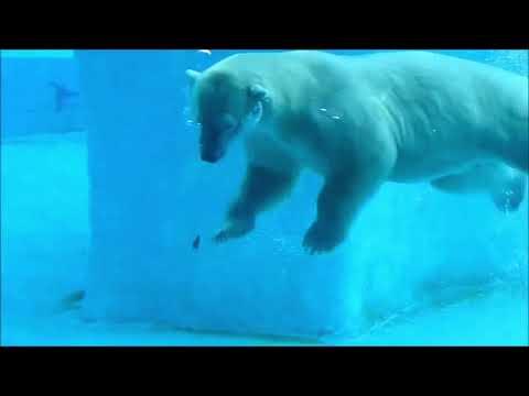 Inuka , Polar Bear at Singapore Zoo