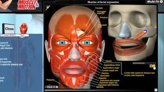 Facial expression: Zygomatic major