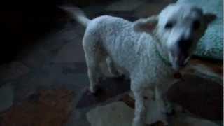 Misha Miniature Poodle Rescued By Florida Poodle Rescue