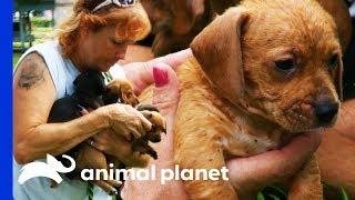 Owner Surrenders 10 Flea-Covered Puppies To Tia | Pit Bulls & Parolees
