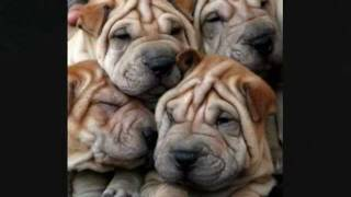 Shar Pei - The Wrinkle Dog