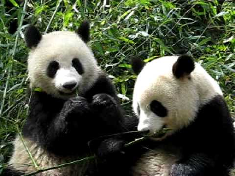 3 giant pandas eating bamboo in chengdu 2 youtube