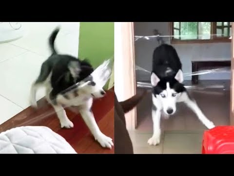 Testing Dog or Cat Intelligence with Clear Tape - Funny Dogs and Cats Reaction to Clear Tape