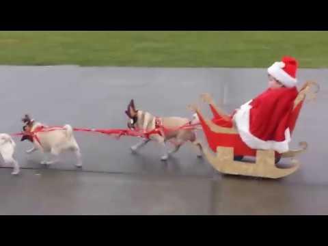 pugs dressed as reindeer pull kid in sleigh youtube