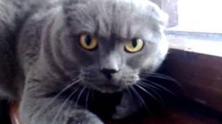 angry cat British Shorthair