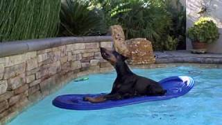 Cooper The Swimming Doberman