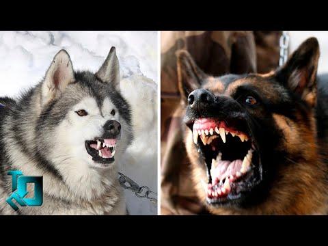 Самые Опасные Собаки в Мире / Топ 10