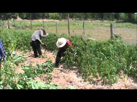 Harvesting 5 month old Cassava