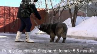 Щенок кавказской овчарки, сука 5,5 месяцев. www.r-risk.ru Тел. +7 926 220-56-03 Татьяна Ягодкина