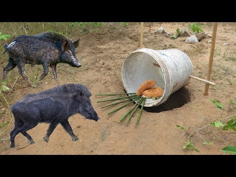 Amazing Quick Wild Pig Trap Using Plastic Buckets - How To M