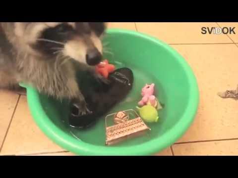 Енот стирает - онлайн видео